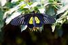 Helen's Birdwing (Troides helena) butterfly. <br /> Identified by Tad Yankoski, Entomologist.