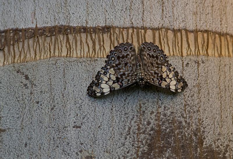 Grey Cracker (Hamadryas februa) butterfly. <br /> Identified by Tad Yankoski, Entomologist.