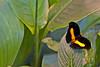 Grecian Showmaker (Catonephele numilia) <br /> Identified by Tad Yankoski, Entomologist.