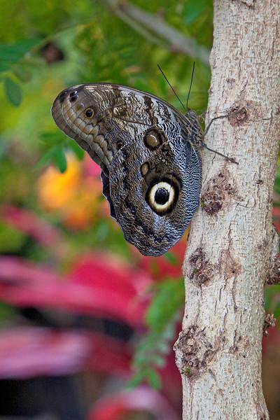 Giant Owl, (caligo memnon) butterfly<br /> Identified by Tad Yankoski, Entomologist