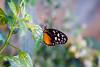 Tiger Butterfly ( Tithorea harmonia) <br /> Identified by Tad Yankoski, Entomologist.
