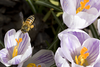 Honey bee  in flight  <br /> spring time