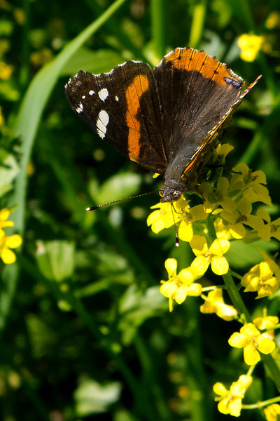 Red Admiral along the canal path
