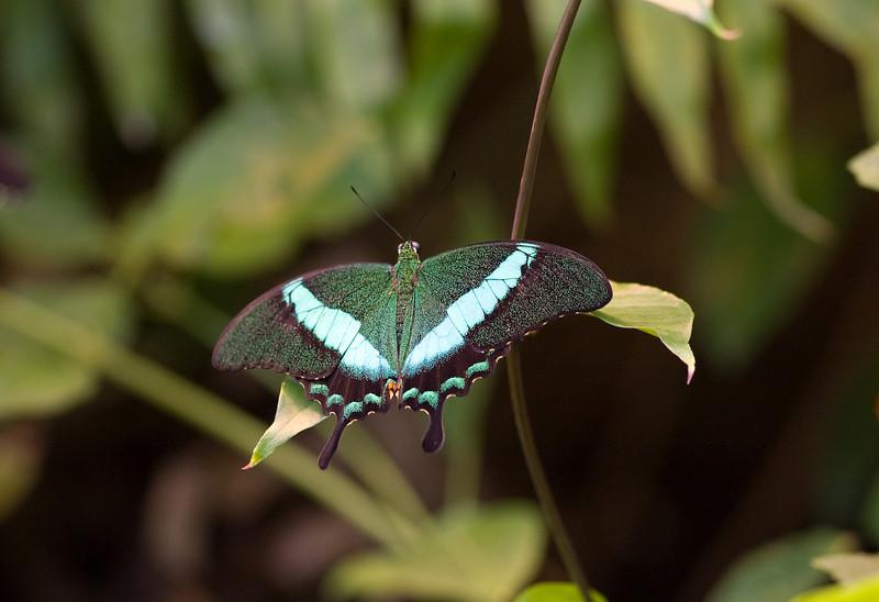 Banded Peacock (Papilo palinurus) butterfly. <br /> Identified by Tad Yankoski, Entomologist.