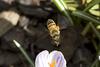 Honey bee in flight  <br /> spring time