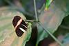 Postman Butterfly, (Heliconius melpomene) <br /> Identified by Tad Yankoski, Entomologist.