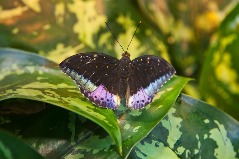 Archduke (Lexias dirtea) butterfly<br /> Identified by Tad Yankoski, Entomologist