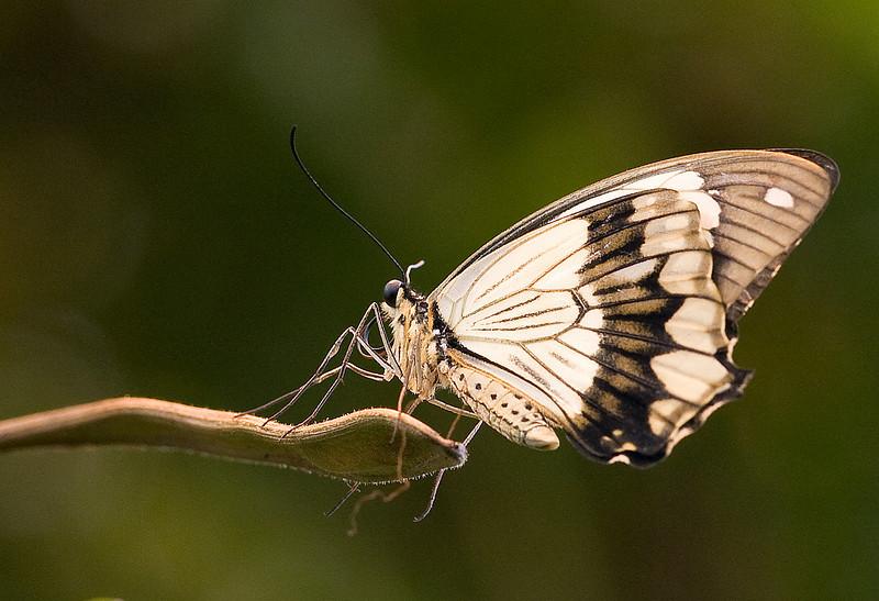 Mocker Swallowtail (Papilo dardanus). <br /> Identified by Tad Yankoski, Entomologist.