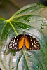 Tiger Butterfly ( Tithorea harmonia) <br /> Identified by Tad Yankoski, Entomologist.