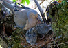 Mama Mourning Dove with two babe chicks about ready to fly the nest..