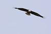 Bald Eagle bald  Bald Eagle;