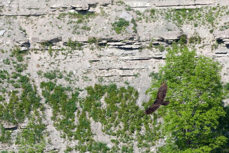 Turkey Vulture, Letchworth State Park