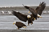 Two  Eagles see the same food bald  Bald Eagle. Awarded HM in 2010 NFRCC slide competition.