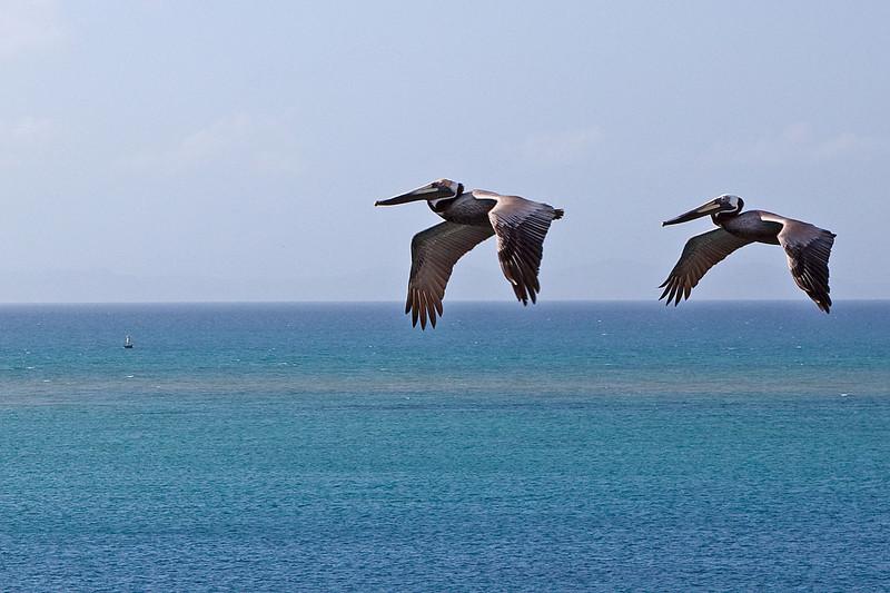 Pelicans in Bonaire