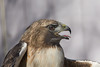 Red Tailed Hawk bald