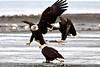 Two Bald Eagles Fight Over the Same Food bald  Bald Eagle;