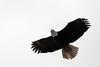 Bald Eagle;