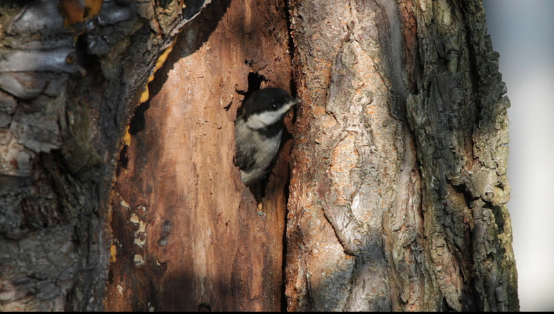 Second Black Capped Chickadee tries to get courage to fly the nest.  Does it.