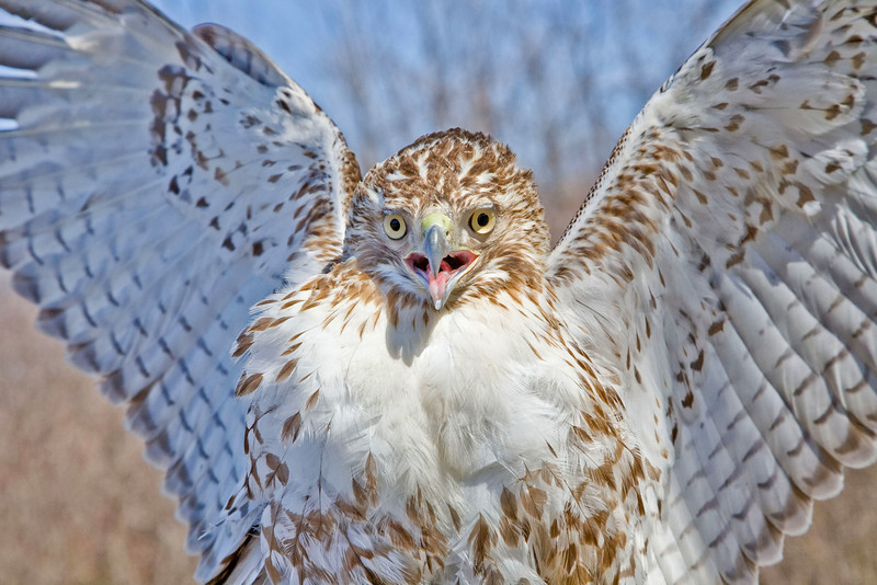 red tail face on