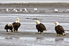 Four Bald eagles