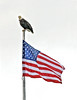 Bald Eagle sitting on flag pole;