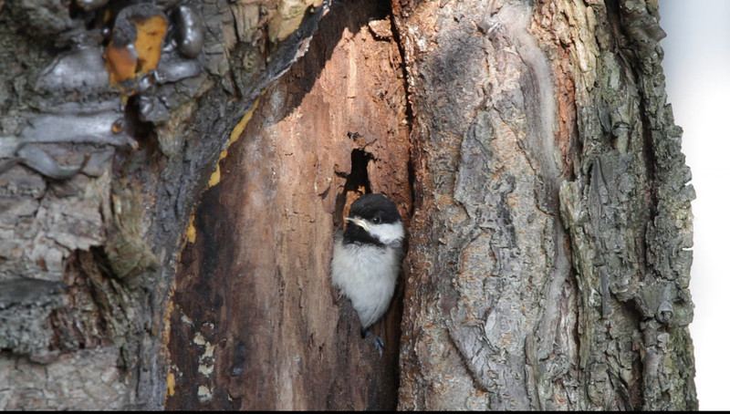Third Black Capped Chickadee tries to get courage to fly the nest.  Does it.