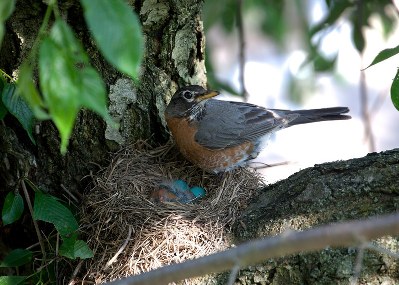 Mama Robin proud of her first born.   The other two eggs never hatched.