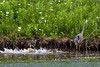 It seems like the fish are teasing the Heron because they know they are too big for him to eat.  Notice the rustle of the big fish in the water while the Heron watches..