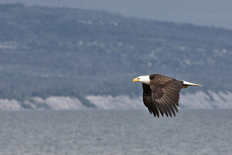 Bald Eagle flies along the Homer Spit