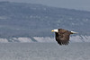 Bald Eagle flies along the Homer Spit