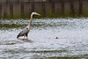 It seems like the fish are teasing the Heron because they know they are too big for him to eat.