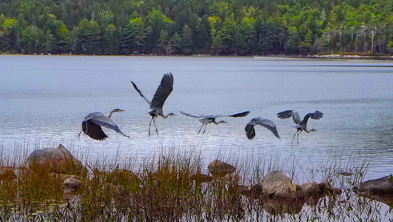 Blue Heron at Eagle Lake in Maine
