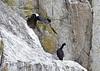 Brandt's cormorant; Black bird in flight