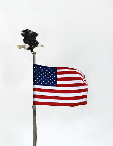Bald Eagle sitting on flag pole;
