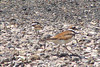 KILLDEER and young<br /> Southeastern Colorado<br /> July 2006