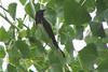 BREWERS BLACKBIRD ??<br /> La Junta, Col. area<br /> July 2006