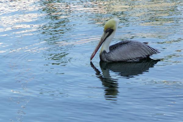 Pelican on Key Largo