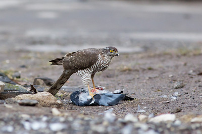 Sparrowhawk eating a pigeon