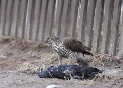 Raudkull einestamas  Sparrowhawk having dinner