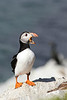 Lunn. Puffin. Hornoya island, Norway.