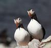Puffin, Lunn, Fratercula arctica. Hornoya island, Barents Sea.