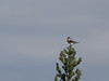 Greenshank in Lapland. Heletilder.