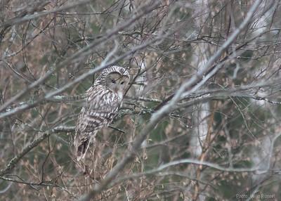 Händkakk, Ural Owl