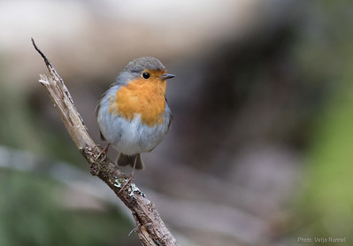 European Robin, Punarind