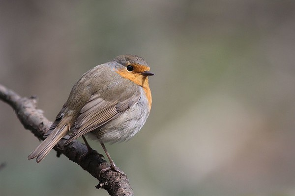 Robin, Punarind, Erithacus rubecula