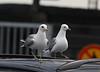 Common gulls in Helsinki ferry port
