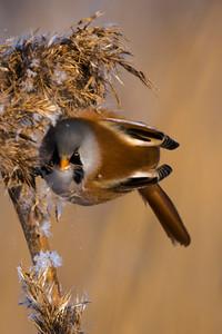 Bearded Reedling - Panurus biarmicus - Viiksitimali