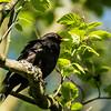Common Blackbird - Mustarastas - Turdus merula
