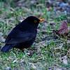 Mustarastas - Common blackbird - Turdus merula