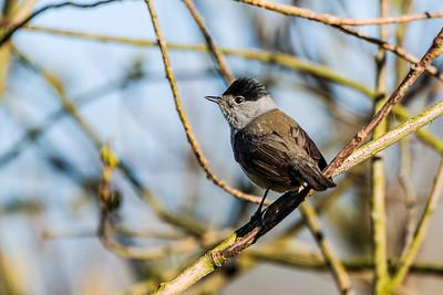 Eurasian blackcap - Mustapääkerttu - Sylvia atricapilla